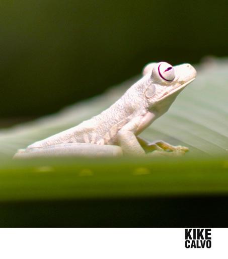 KIKECALVO_COSTA_RICA_GLADIATOR_FROG