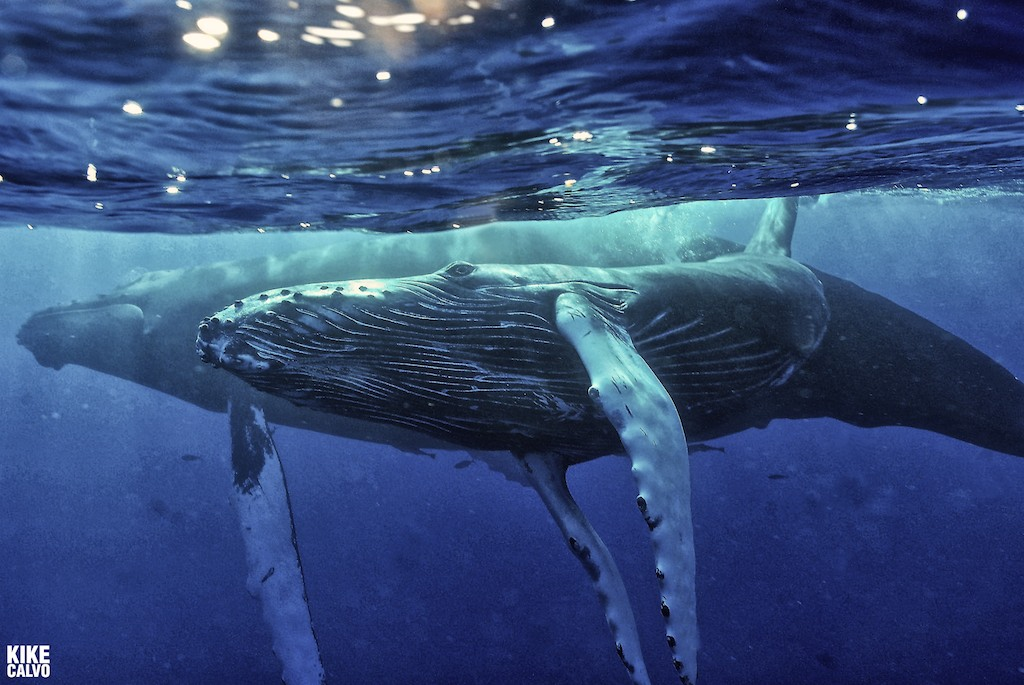 National Geographic Wallpaper Whales Kikeo and The W...